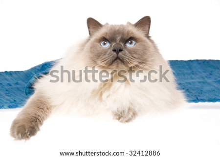 Adult Ragdoll lying under blue woven cloth, on white background - stock photo