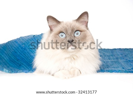Adult Ragdoll lying under blue woven rug, on white background - stock photo