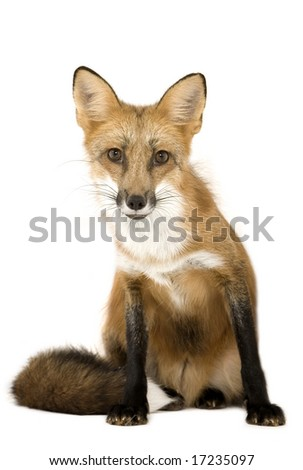 Adult red fox isolated on a white background - stock photo