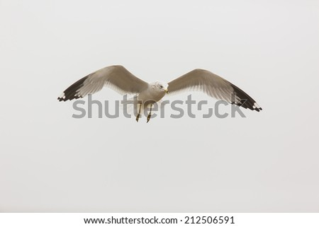 Adult Ring-billed Gull, Larus delawarensis, in the sky