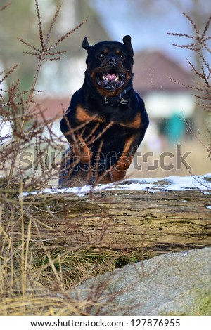 Adult Rottweiler dog midair jumping a log displaying agility while enjoying outdoor exercise - stock photo