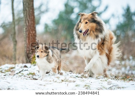 Adult rough collie running with little puppy in winter - stock photo