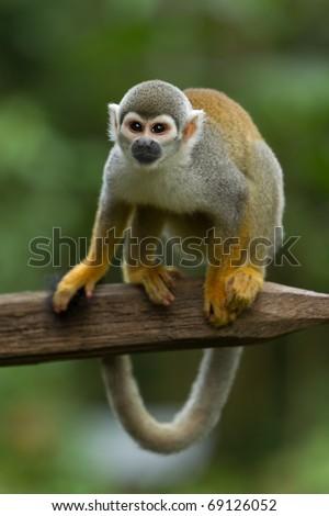adult saimiri monkey agains green blured background - stock photo