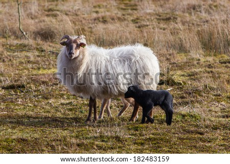 Adult sheep with a black and a white lamb