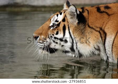 Adult Siberian Tiger stalking her prey. - stock photo