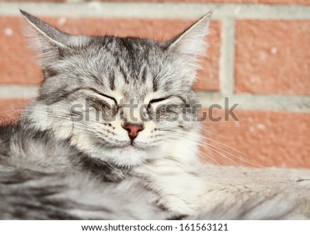 adult silver female of siberian cat