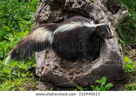 Adult Striped Skunk (Mephitis mephitis) Stands in Hollow Log - captive animal