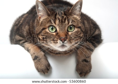 Adult tabby cat looking over the edge of a white table - stock photo