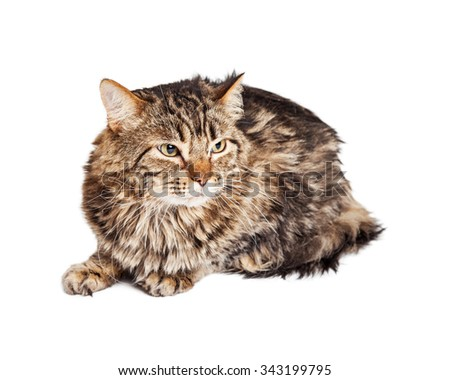 Adult tabby cat with angry expression laying over white