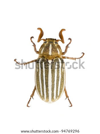 adult ten-lined June beetle (Polyphylla decemlineata) also called the watermelon beetle common to the western United States viewed from above.
