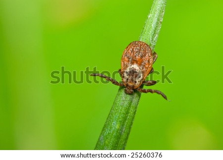 Adult tick - Ixodes ricinus - stock photo