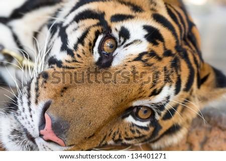 adult tiger face close up - stock photo