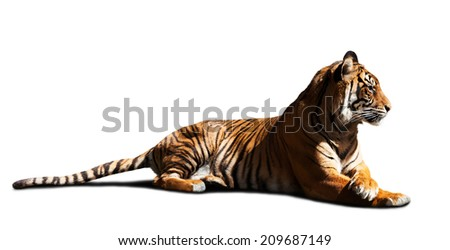 Adult tiger. Isolated on white - stock photo