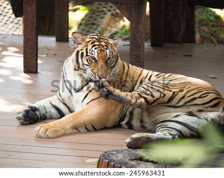 Adult tiger lying on wooden boards and licking his paw - stock photo
