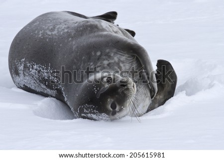 adult Weddell seal which lies in the snow Antarctic winter - stock photo