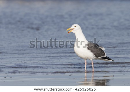 Adult Western Gull on Pacific coast beach - stock photo