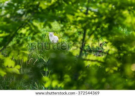 Adult white cat sitting in a field in the village of Beromunster, Switzerland seen through leaves and twigs of shrubbery on a sunny day. - stock photo
