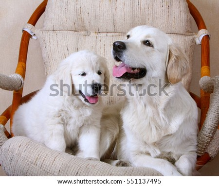 Adult white dog and her puppy. White Retriever. Mom and daughter. A happy family. Home comfort with animals.