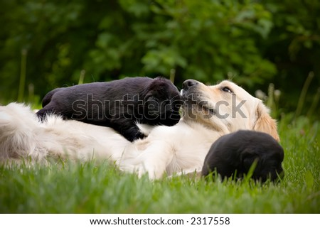 Adult white dog with two black puppies, playing on grass - stock photo