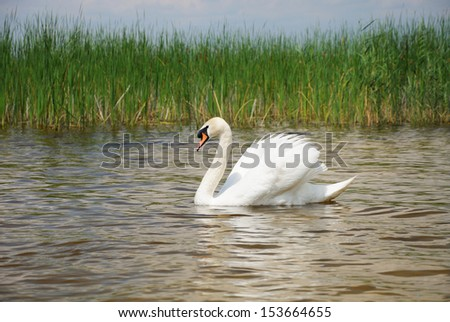 Adult white swan swims on the smooth surface of pond