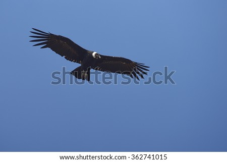Adult wild Andean Condor (Condor Vultur gryphus) flying against a clear blue sky in the Andes Mountains near Santiago in Chile. - stock photo