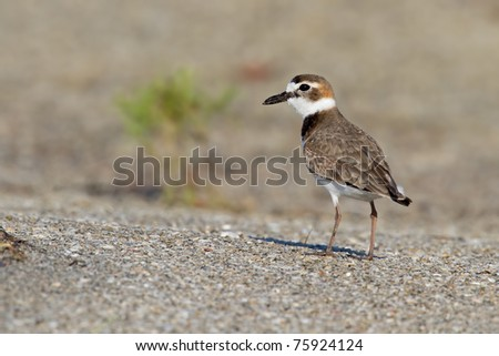 Adult wilson's plover in breeding plumage on beach.