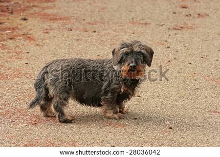 Adult wire-haired dachshund, outside on the street - stock photo