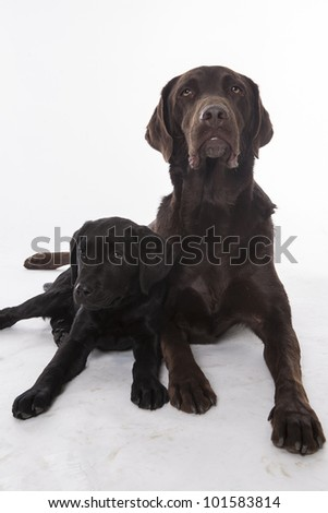 adult with puppy Labrador Retriever sitting in front of white background