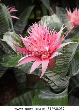 Aechmea fasciata - stock photo