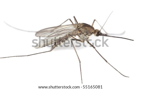 Aedes Mosquito isolated on white background. Extreme close-up.