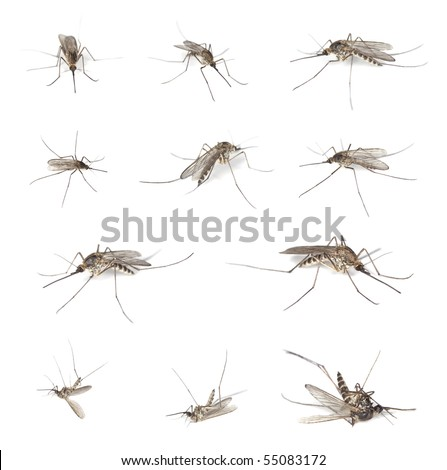 Aedes mosquitos isolated on white background. Collection of different sizes and positions. - stock photo
