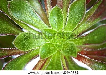 Aeonium arboreum(houseleek) green leaves with water drops - stock photo