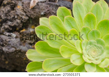 Aeonium, typical of the Canary Islands floor. Rosette with perfect symmetry.