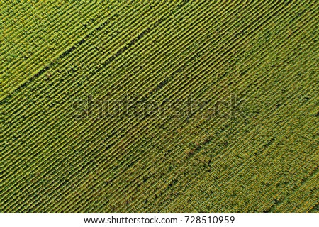 Aerial drone view of the sunflower field, green and yellow stripes