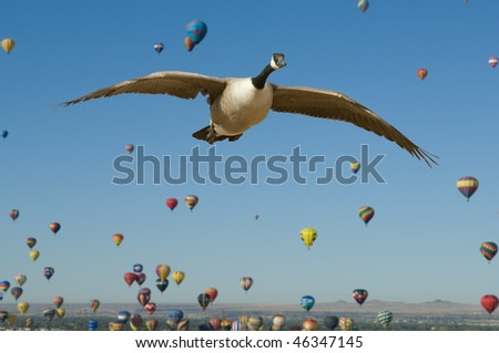Aerial Migration - This is a composite image of a Canada Goose flying in the foreground during the mass ascension of hot air balloons in Albuquerque, New Mexico. - stock photo
