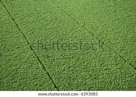 Aerial of sugarcane crop in Maui, Hawaii. - stock photo