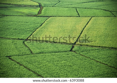 Aerial of sugarcane crops in Maui, Hawaii.