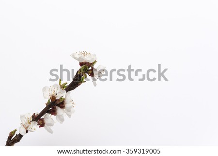 Aerial view at fruit tree blooming period white soft blossoms  Branch with blooms in spring against white background, shallow focus field, ideal for nature, gardening blog and books - stock photo