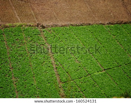 Aerial view cabbage patch - stock photo