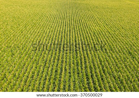 Aerial view of a farm field with rows of corn plants - stock photo