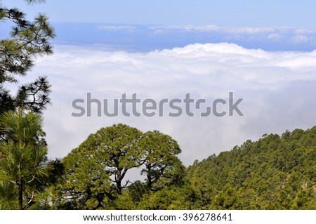 Aerial view of forest of canarian pines (Pinus canariensis) above the clouds at Tenerife in the Spanish Canary Islands