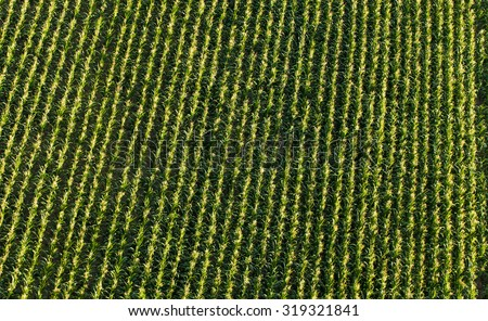 aerial view of harvest  corn field in Poland - stock photo