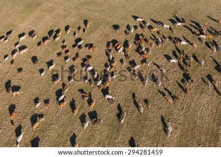 aerial view of herd of cows at summer green field in Poland - stock photo