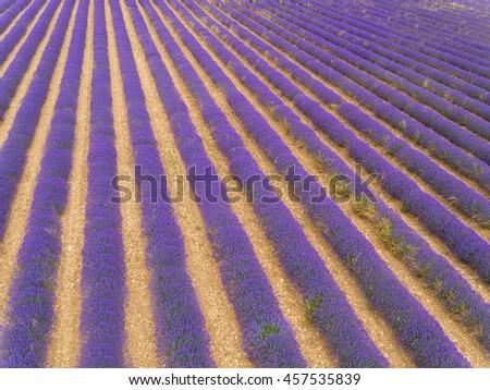 Aerial view of lavender field in full blooming season in diagonal rows - stock photo