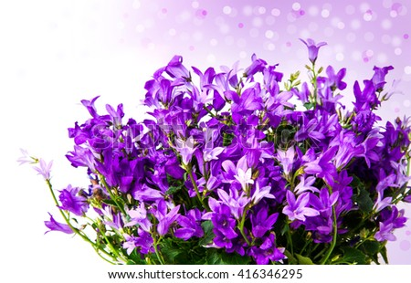 Aerial view potted purple Campanula Portenschlagiana flowers on white background. - stock photo