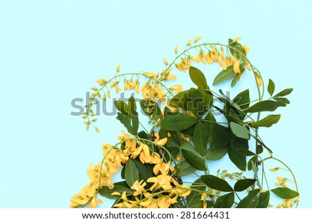 Aerial view yellow laburnum bunch of flowers on blue background  Top view golden chain blossoms bouquet perfect for romantic wedding concept, image is filtered for vintage effect - stock photo