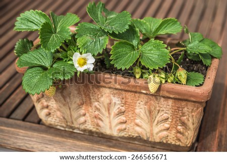 Aeriel view of blooming and green strawberries potted in vintage terracotta planter - stock photo