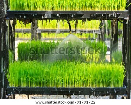 Aeroponics rice plantation technique - stock photo