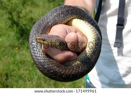 Aesculapian Snake (Zamenis longissimus) in human hand - stock photo