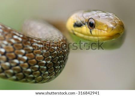 Aesculapian snake (Zamenis longissimus) portrait - stock photo